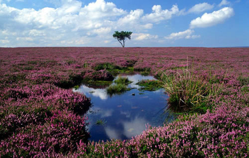 A healthy peat bog -  photo from Moors for the Future